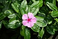 Catharanthus roseus 5zz.jpg