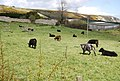 Cattle grazing, Whitecliffe Farm - geograph.org.uk - 767248.jpg