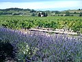 Cave de Cairanne vineyard and lavender.jpg
