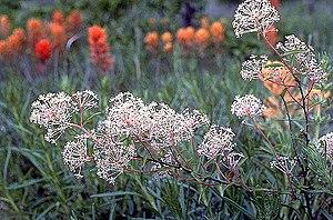 Ceanothus herbaceus - Image: Ceanothus herbaceus 01