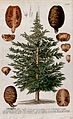Cedar (Cedrus sp.); tree with separate segments of cones and Wellcome V0042998.jpg