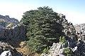 Cedar and rock - panoramio.jpg