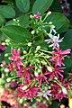 Ceguk (Quisqualis indica).jpg