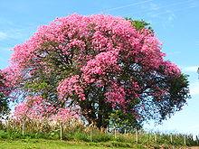 Paineira rosa florida no outono em Mogi Mirim.