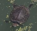 Central Park Turtle (4688279751).jpg