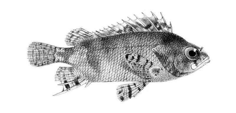File:Centrogenys vaigiensis.jpg