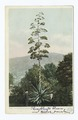 Century Plant in Bloom, Arizona (NYPL b12647398-66704).tiff