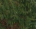 Cephalotaxus sinensis (Chinese Plum Yew) (30471818884).jpg