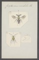Cerapterocerus - Print - Iconographia Zoologica - Special Collections University of Amsterdam - UBAINV0274 046 14 0006.tif