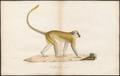 Cercopithecus sabaeus - 1700-1880 - Print - Iconographia Zoologica - Special Collections University of Amsterdam - UBA01 IZ19900082.tif
