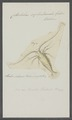Cetochilus septentrionalis - - Print - Iconographia Zoologica - Special Collections University of Amsterdam - UBAINV0274 100 02 0011.tif