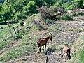 Chèvres au Castellet.jpg