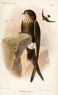 Mottled spinetail species of bird