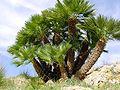 Chamaerops humilis (Zingaro)029.jpg