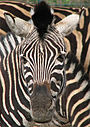 Zebra's bold pattern may provide motion dazzle