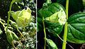 Chelonanthus alatus? (9149320486).jpg
