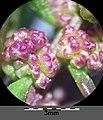 Chenopodium chenopodioides sl25.jpg