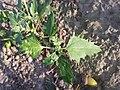 Chenopodium murale sl65.jpg