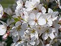 Cherry Blossom - geograph.org.uk - 385255.jpg