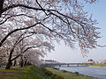 Cherry Blossom - panoramio - tsushima (4).jpg