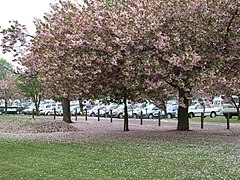 Cherry blossom time - geograph.org.uk - 418088.jpg