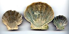 Chesapecten Jeffersonius Inside.jpg