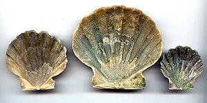 Chesapecten jeffersonius - Chesapecten jeffersonius (interior of shell)