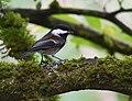 Chestnut-backed Chickadee (43847837520).jpg