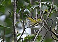 Chestnut-sided Warbler (29304040387).jpg
