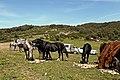 Chevaux - خيول - panoramio (3).jpg