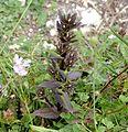 Chiltern Gentian, Gentianella germanica in bud - Flickr - gailhampshire.jpg