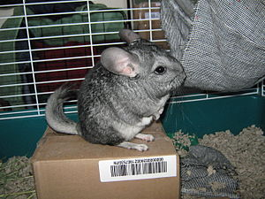 Long-tailed chinchilla - Chinchilla costina standing on its hind legs