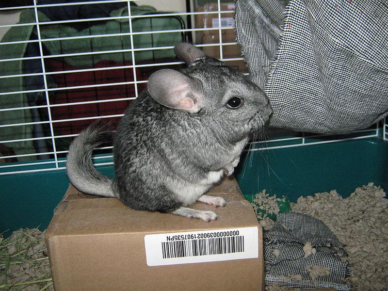 File:Chinchilla lanigera reared.jpg - Wikimedia Commons