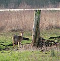 Chinese water deer (Hydropotes inermis) by Rockland Broad - geograph.org.uk - 1692021.jpg