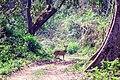 Chital or Spotted deer at Chitwan National Park (1).jpg