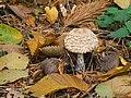 Chlorophyllum rhacodes Kiev2.jpg