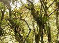 Choro-Trail-Bolivien-Bromelien.JPG