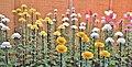 Chrysanthemum - panoramio (1).jpg
