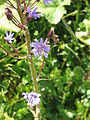 Cicerbita alpina02.jpg