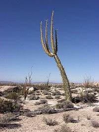 Cirio columnaris, boojum tree