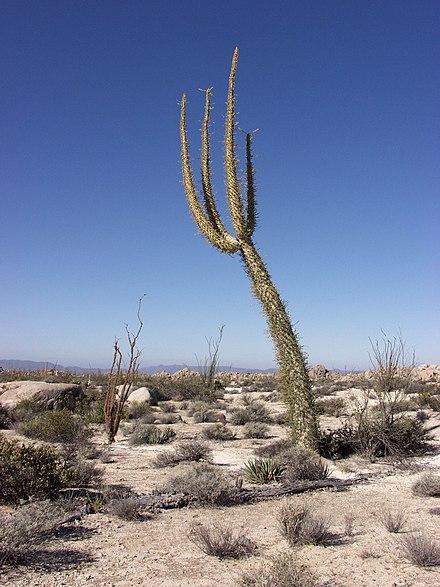 der niederkalifornische boojum wird wegen seines aussehens oft f r einen kaktus gehalten. Black Bedroom Furniture Sets. Home Design Ideas