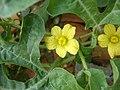 Citrullus lanatus (3).JPG