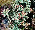 Cladonia cristatella f. (10).jpg