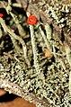 Cladonia macilenta closeup.jpg