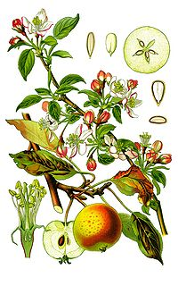 Cleaned-Illustration Malus domestica.jpg
