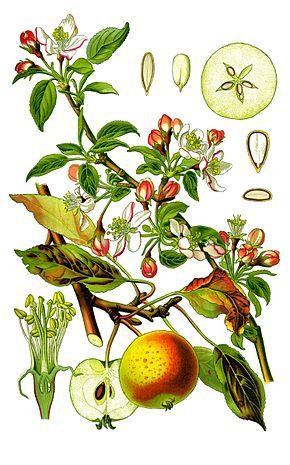 planche botanique du pommier commun
