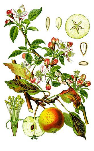 Яблоня домашняя. Ботаническая иллюстрация из книги О.В.Томе Flora von Deutschland, Österreich und der Schweiz, 1885