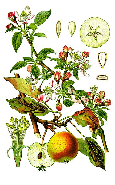 Datei:Cleaned-Illustration Malus domestica.jpg