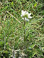 Cochlearia officinalis02.jpg