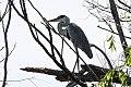 Cocoi Heron (Ardea cocoi) (8077528836).jpg